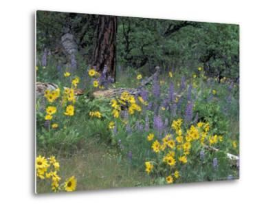 Balsam Root and Lupines Among Oregon White Oak and Pacific Ponderosa Pine, Rowena, Oregon, USA