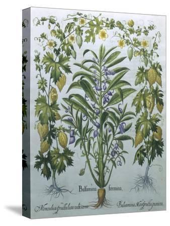 Balsamina Foemina-Besler Basilius-Stretched Canvas Print