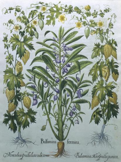 Balsamina Foemina-Besler Basilius-Giclee Print