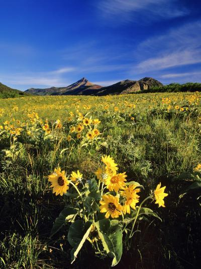 Balsamroot Along the Rocky Mountain Front, Waterton Lakes National Park, Alberta, Canada-Chuck Haney-Photographic Print