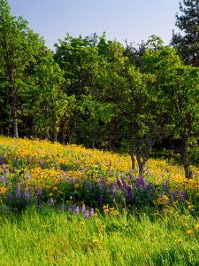 Balsamroot and Lupine flowers blooming in a forest, Tom McCall Nature Preserve, Columbia River G...
