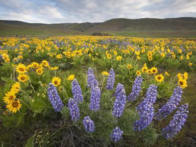 Balsamroot and Lupine Flowers, Columbia Hills, Washington, USA-Sean Bagshaw-Photographic Print