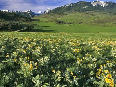 Balsamroot in the Absaroka Mountains, Livingston, Montana, USA-Chuck Haney-Photographic Print