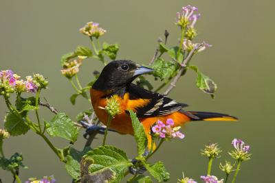 Baltimore Oriole Bird Foraging During Migration on South Padre Island, Texas, USA-Larry Ditto-Photographic Print
