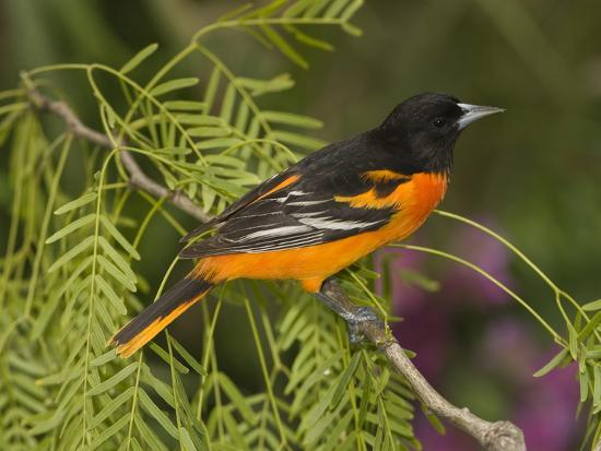Baltimore Oriole (Icterus Galbula) Male Perched on a Branch, Rio Grande Valley, Texas-Tom Vezo/Minden Pictures-Photographic Print