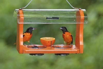 Baltimore Oriole Males Feeding at Jelly and Fruit Feeder--Photographic Print