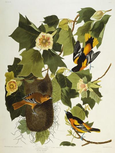 Baltimore Oriole. Northern Oriole (Icterus Galula), from 'The Birds of America'-John James Audubon-Giclee Print