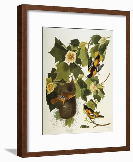 Baltimore Oriole. Northern Oriole (Icterus Galula), from 'The Birds of America'-John James Audubon-Framed Giclee Print