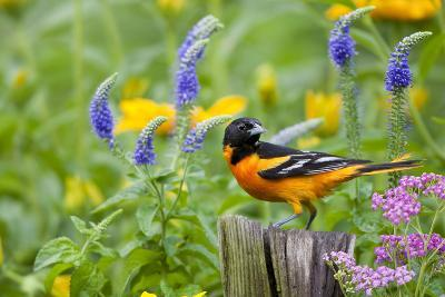 Baltimore Oriole on Post in Garden with Flowers, Marion, Illinois, Usa-Richard ans Susan Day-Photographic Print