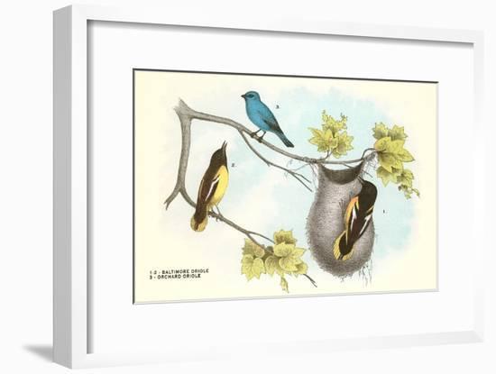 Baltimore Oriole, Orchard Oriole--Framed Art Print