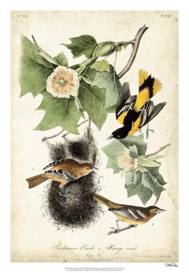 Baltimore Oriole-John James Audubon-Giclee Print