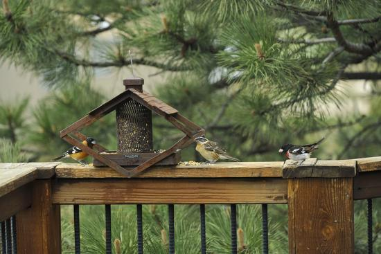 Baltimore Orioles and a Rose-Breasted Grosbeak at a Birdfeeder-Michael Forsberg-Photographic Print
