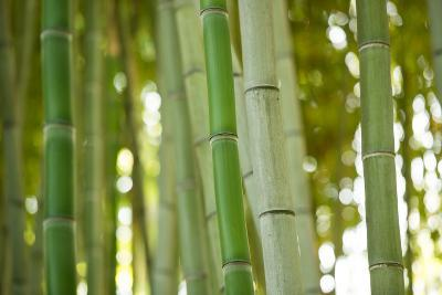 Bamboo and Bokeh I-Erin Berzel-Photographic Print