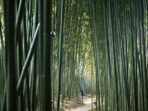 Bamboo Forest, Ginkakuji Temple, Kyoto, Japan
