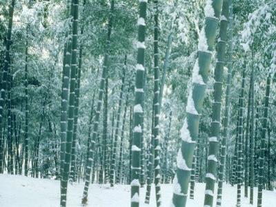 Bamboo Forest in Snow, Nishiyama, Kyoto, Japan