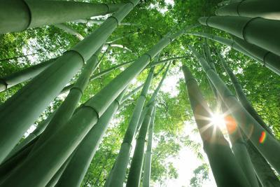 https://imgc.artprintimages.com/img/print/bamboo-forest-in-the-morning_u-l-q104v6p0.jpg?p=0