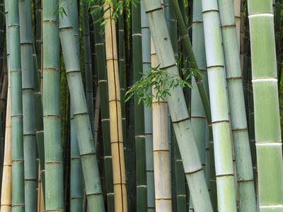 https://imgc.artprintimages.com/img/print/bamboo-forest-kyoto-japan_u-l-p3wpk30.jpg?artPerspective=n