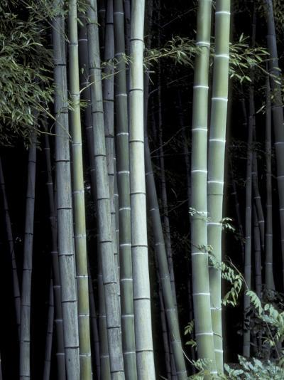 Bamboo Forest, Kyoto, Japan-Dave Bartruff-Photographic Print