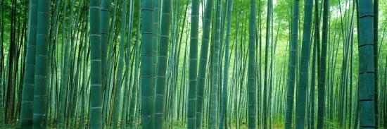 Bamboo Forest, Sagano, Kyoto, Japan--Photographic Print