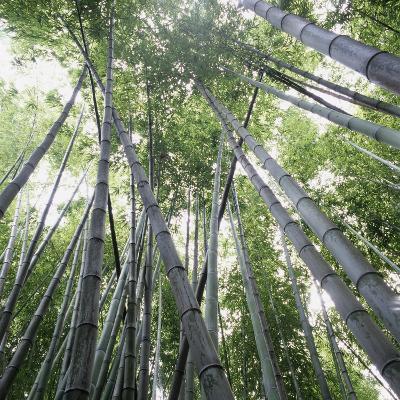 Bamboo Forest-Micha Pawlitzki-Photographic Print