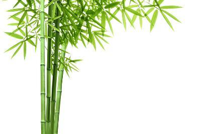 Bamboo Isolated on White Background-Liang Zhang-Photographic Print