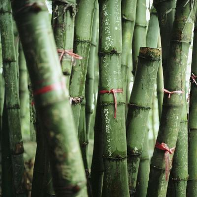 Bamboo Plants-Mika-Photographic Print