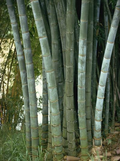 Bamboo Stems in the Peradeniya Botanical Gardens in Kandy, Sri Lanka-Sassoon Sybil-Photographic Print