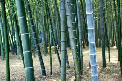 Bamboo Tree Forest, Close Up-Design Pics Inc-Photographic Print