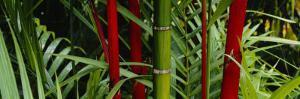 Bamboo Trees, Hawaii, USA