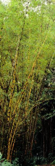 Bamboo Trees in a Forest, Akaka Falls State Park, Hawaii County, Hawaii, USA--Photographic Print