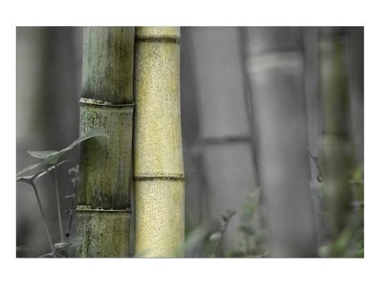 Bamboo-Karin Connolly-Art Print