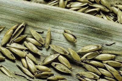 Bambusa Arundinacea (Bamboo) - Seeds-Paul Starosta-Photographic Print