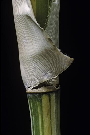 Bambusa Multiplex 'Alphonse Karr' (Bamboo) - Shoot-Paul Starosta-Photographic Print