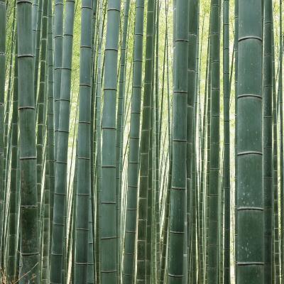 Bamoo Forest in Kyoto-Micha Pawlitzki-Photographic Print
