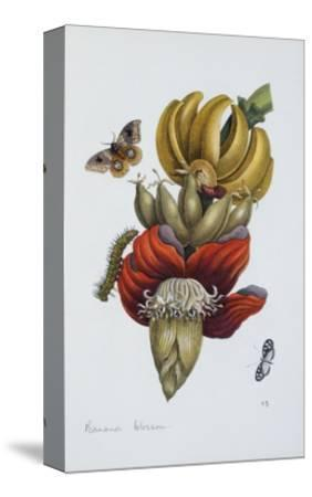 Banana Blossom Illustration from the Little Book of Wonders of the Tropics