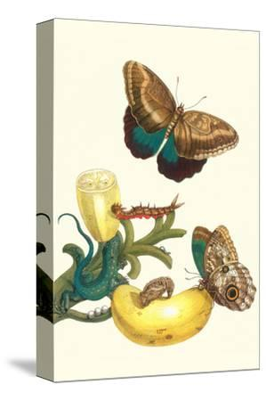 Banana Plant with Teucer Giant Owl Butterfly and a Rainbow Whiptail Lizard-Maria Sibylla Merian-Stretched Canvas Print