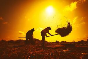 Farmers Silhouettes at Sunset. Rice Grain Threshing during Harvest Time in Northern Thailand by Banana Republic images