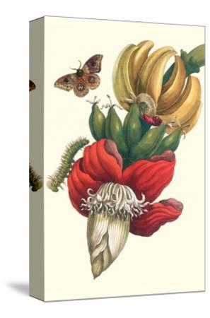 Banana Tree and Moths-Maria Sibylla Merian-Stretched Canvas Print
