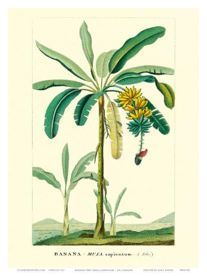 Banana Tree, Botanical Illustration, c.1855-Ch^ Lemaire-Art Print