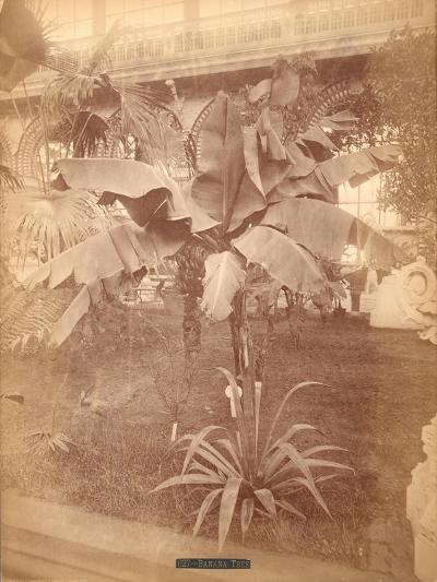 Banana Tree, Pennsylvania Centennial Exhibition, 1876--Giclee Print
