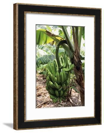 Banana Tree-David Nunuk-Framed Photographic Print