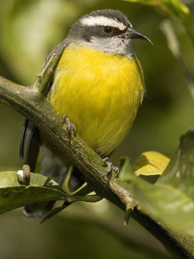 Bananaquit, Coereba Flaveola, Northern South America-Joe McDonald-Photographic Print