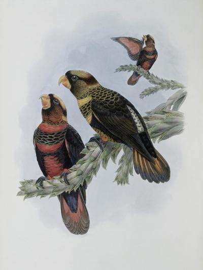 Banded Lory-John Gould-Giclee Print