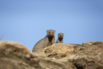 Banded Mongoose and Baby-Richard Du Toit-Photographic Print