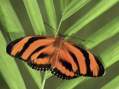 Banded Orange Heliconian Butterfly (Dryadula Phaetusa), Family Heliconiidae-Leroy Simon-Photographic Print