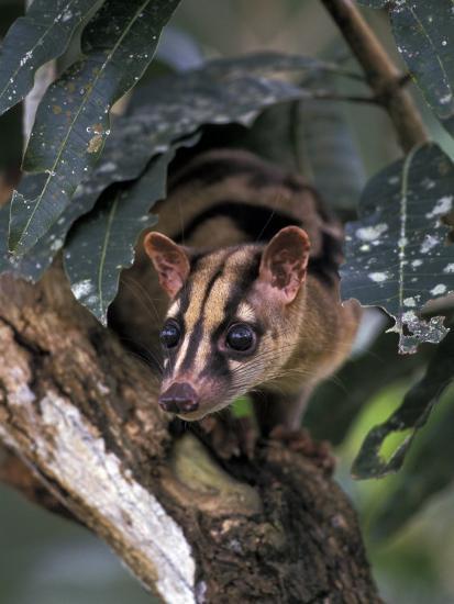 Banded Palm Civet, Malaysia-Gavriel Jecan-Photographic Print