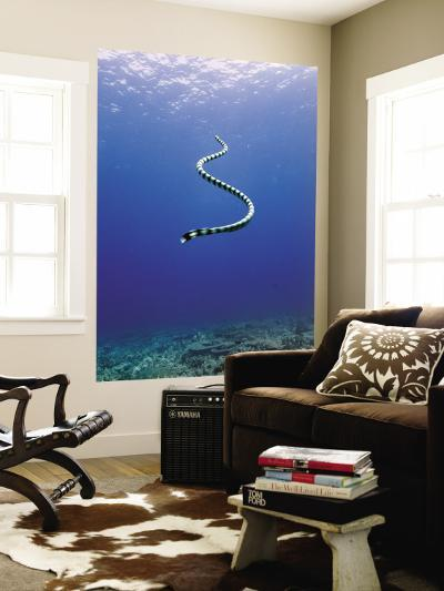 Banded Sea Snake from Rear-Johnny Haglund-Wall Mural