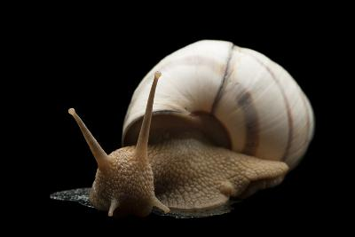 Banded Tree Snail, Orthalicus Floridensis.-Joel Sartore-Photographic Print