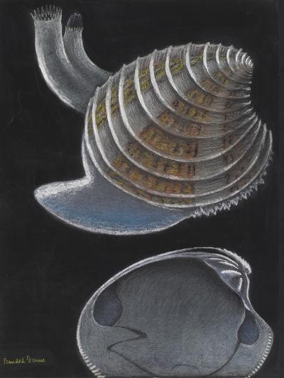 Banded Venus-Philip Henry Gosse-Giclee Print