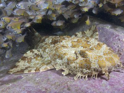 Banded Wobbegong Shark (Orectolobus Halei), Fish Rock, South West Rocks, New South Wales-Andy Murch-Photographic Print